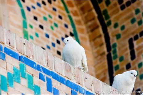 Бухарські голуби